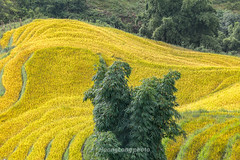 _29A0432.0917.Lao Chải.Sapa.Lào Cai (hoanglongphoto) Tags: asia asian vietnam northvietnam northwestvietnam landscape scenery vietnamlandscape vietnamscenery vietnamscene sapalandscape harvest bambo harvestpaddyinsapa bamboo hillside canon canoneos5dsr canonef70200mmf28lisiiusm tâybắc làocai sapa laochải lúachín mùagặt sapamùagặt sapamùalúachín sườnđồi câytre