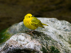 Warbler, Yellow (@Michael) Tags: beavercreekvalleystatepark em1ii gear minnesota olympus olympus300mmf4 places setophagapetechia statepark warbler wildlife yellowwarbler
