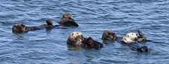 World Otter Day #3 (MJ Harbey) Tags: water sea mammal animal seaotter otter enhydralutris nikon d3300 nikond3300 california usa monterey mosslanding