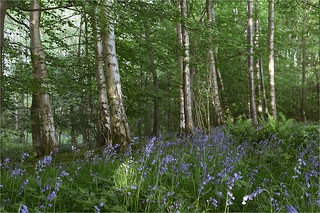 Bluebells, beech and birch trees, North Yorkshire. UK