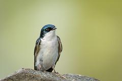 Tree Swallow (Becky Matsubara) Tags: avian bird birds golondrinabicolor hirondellebicolore klamathfalls moorepark nature oregon outdoors putnamlanding putnamspoint swallow tachycinetabicolor treeswallow upperklamathlake wildlife