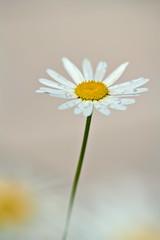 Marguerite (pstenzel71) Tags: blumen natur pflanzen flower darktable bokeh spring margeite marguerite leucanthemum