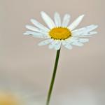 Marguerite thumbnail