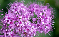 Spirea in Lavender (Dotsy McCurly) Tags: canoneos80d efs35mmf28macroisstm spirea flowers plant macro closeup nature beautiful lavender purple bokeh dof yard nj newjersey smileonsaturday preciouspurple