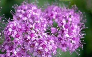 Spirea in Lavender