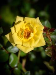 Sunny Yellow (Jocey K) Tags: newzealand nikond750 christchurch rose flowers miniatureroses