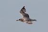 European Herring Gull (argenteus) - 2CY - August - UK (Keith V Pritchard) Tags: 2cy 2ndcalendaryear august dorset europeanherringgull herringgull larusargentatusargenteus portlandbill uk gull laridae seagull