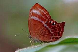 Abisara saturata - the Forest Judy (female)