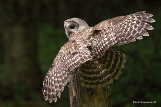 Barred Owl shows his feathers