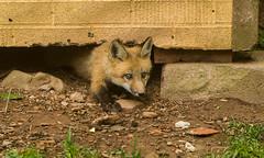IMGL1246 Pugwash Red Fox Kit(s) (Wallace River) Tags: foxes novascotia pugwashfoxes redfoxes