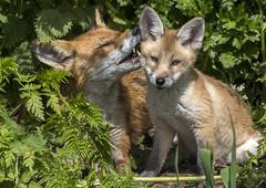 groomed (mond.raymond1904) Tags: fox cub dublin dodder ireland