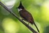 Red-whiskered Bulbul © (Rodolfo Quinio) Tags: 132 redwhiskeredbulbul nikond500 tamron150600mm kowloonpark hongkongchina bulbul nature wildlife bird