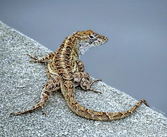 Isn't He Lovely? (Chris C. Crowley) Tags: isnthelovely brownanolelizard lizard animal reptile tail amespark ormondbeachflorida june62018