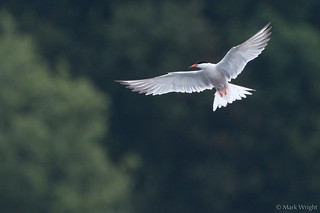 Common Tern 2