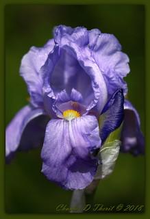 Princess Beatrice (Iris pallida)