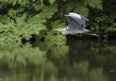 Grey Heron (Ardea cinerea) (Eastern Davy) Tags: greyheron ardeacinerea bird wildlife wild flight riveresk river eskmills musselburgh eastlothian scotland canon 70d 300mm