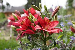 158/365 lilies