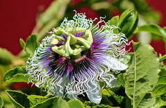 Passion Fruit Blossom Against a Red Barn (iseedre) Tags: fruitstand redbarn