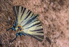 Kardoslepke  (Iphiclides podalirius) (Torok_Bea) Tags: lepke butterfly pillangó best végre nikon nikond7200 d7200 beautiful home disznóhátánkészült kardoslepke kardfarkúlepke iphiclidespodalirius