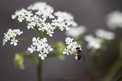 printemps (BPM.Photography) Tags: macro nature printemps lozère fleur flower nofilter beautifulword