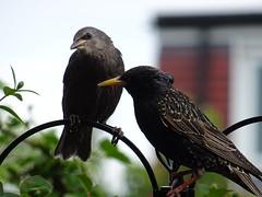 DSC00140 (robinsparrow) Tags: starling birding birds birdwatching nature wildlife garden wild outdoor