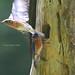 But wait....I was only kidding (tripod_treker) Tags: bluebirds tree nest birdflight stump smileonsaturday comicscene ef100400mmf4556lisiiusm