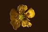 #MacroMondays #AllNatural (Mari Van Cauteren) Tags: macromondays allnatural macro flower ant yellow