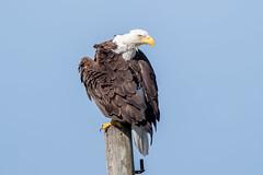 Bald Eagle (Simon Stobart - Back But Way Behind) Tags: florida unitedstates us bald eagle on a post haliaeetus leucocephalus coth5 ngc npc