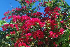Key West (Florida) Trip 2017 0328Ri 4x6 (edgarandron - Busy!) Tags: florida keys floridakeys keywest plants trees bushes bougainvillea