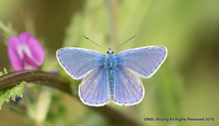 Common Blue - Male (snapp3r) Tags: butterfly commonblue sunnybank