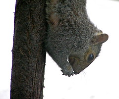 Breakfast (mudder_bbc) Tags: backyardwildlife squirrels feeder explore