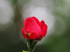 Róża Rose Rosas Roses (arjuna_zbycho) Tags: róża rose rosas roses róże rosu rosae flower kwiat blume makrofoto macrophoto rosarium rosengarten الورد austria badenbeiwien doblhoffpark biosphaerenparkwienerwald lovers gülsevenler gül trandafir trandafiri زهرة