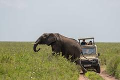 Monday Morning Traffic Jam (Hector16) Tags: namiriplains eastafrica tanzania serengeti wildlife nature shinyangaregion tz
