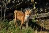 EdenLanding_052818_047 (kwongphotography) Tags: edenlandingecologicalreserve edenlanding wildlife wildlifephotography nature naturephotography eastbayregionalparks hayward california ca calif redfox fox unitedstates