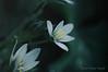 "Mini --- Blanche ... ( P-A) Tags: belles blanche fleur invitante mini miniature printemps petites velours photos simpa© ithinkthisisart ""nikonflickraward"""