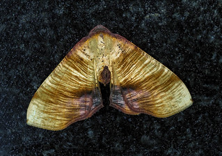 Scorched Wing - Plagodis dolabraria