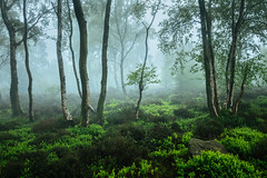 Spring Mist (J C Mills Photography) Tags: peakdistrict uk england derbyshire spring mist fog woodland heather trees silver birch bilberry landscape