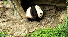 2018_05-28d (gkoo19681) Tags: tiantian dabigguy sohandsome proudpapa adorableears fuzzywuzzy feetsies leftovers bambooshoots hopeful searching adorable toocute precious amazing meltinghearts cooldude ccncby nationalzoo