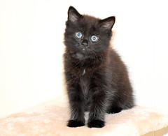 Cute as a button. (pstone646) Tags: cat feline blackcat animal pet fluffy cute portrait eyes