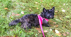 2018.05.30.3196 Like a Hog in Slop -- or Is It Dog? (Brunswick Forge) Tags: 2017 grouped dog dogs animal animals doggy puppy puppies cairn terrier iphone water spring virginia favorited