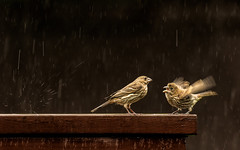FEED ME NOW (Dotsy McCurly) Tags: nikond750 afsnikkor200500mmf56eedvr baby bird housefinch mother feedme hungry regurgitate nature beautiful animal yard fence rain raining nj newjersey 7dwf closeup