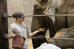Zookeeper and Elephant at the National Zoo (dckellyphoto) Tags: washingtondc washington districtofcolumbia dc 2018 nationalzoo zoo animal animals nationalzoologicalpark smithsonian eoshe elephant asianelephant