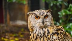 Hibou (YᗩSᗰIᘉᗴ HᗴᘉS +17 000 000 thx) Tags: hibou owl bird pairidaiza hensyasmine namur belgium europa aaa namuroise look photo friends be wow yasminehens interest intersting eu fr greatphotographers lanamuroise tellmeastory flickering