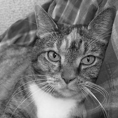 The Many Moods of Gracie #1, 31 May 2018 9560Ri sq BW (edgarandron - Busy!) Tags: gracie patchedtabby cat cats kitty kitties tabby tabbies cute feline