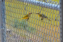 Fence finches (thomasgorman1) Tags: birds finch yellow finches nature nikon fence hawaii outdoors links chainlink island park