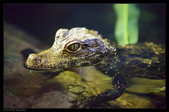 african dwarf crocodile (Neil Tackaberry) Tags: dingle oceanworld aquarium dingleoceanworldaquarium reptile african dwarf crocodile croc africandwarfcrocodile animal county co kerry countykerry cokerry ireland small captivity young juvenile