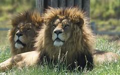 Yorkshire Wildlife Park ...07.06.2018 820 (Andrew Burling (SnapAndy1512)) Tags: yorkshirewildlifepark07062018 yorkshirewildlifepark lions lion bigcats animals zoo
