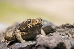 ATU_1166_Sapo Cururu_LR (Ana Taemi) Tags: sapo frog anfíbio amphibiam sapocururu cururufrog rhinela