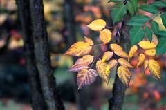*** (pszcz9) Tags: przyroda nature natura zbliżenie closeup liść leaf jesień autumn beautifulearth sony a77