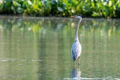 Great Blue Heron (mayekarulhas) Tags: philadelphia pennsylvania unitedstates us greatblueheron johnheinznaturereserve canon canon500mm canon1dxmark2 bird avian wildlife